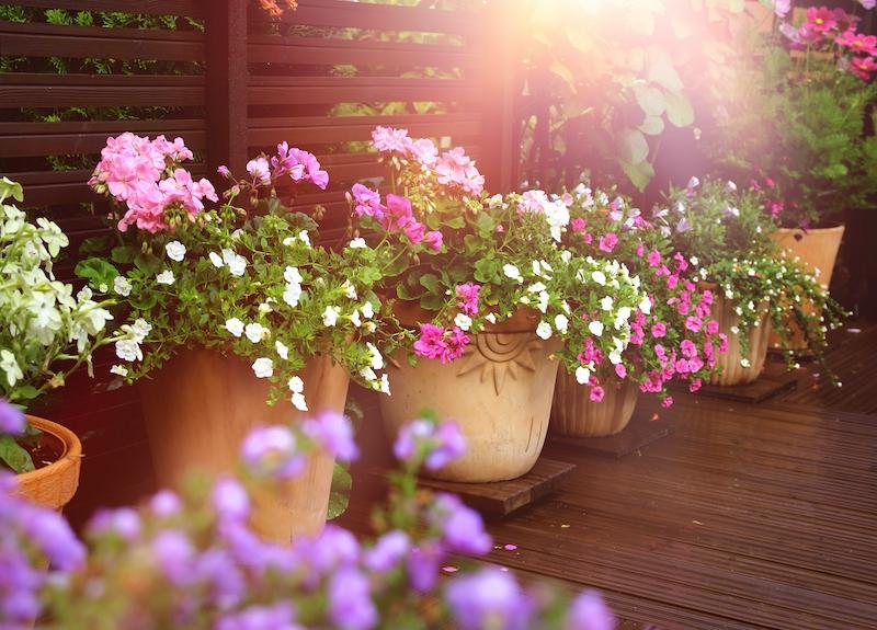 Pelargoner är en av de blommor som klarar sig bra i det spanska sommarklimatet och som samtidigt sätter färg på vår uteplats under den period vi nyttjar den som mest.