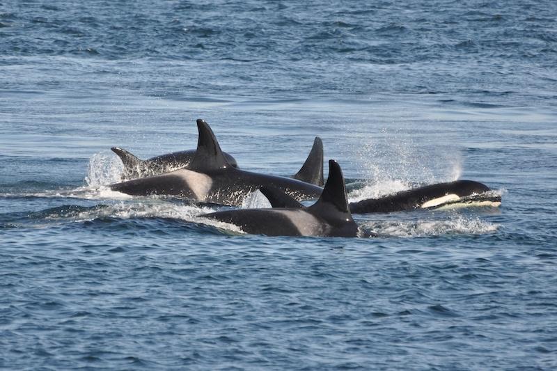 Flera konfrontationer mellan späckhuggare och fritidsbåtar har rapporterats på senare tid i Cádizprovinsen.