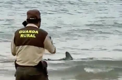 Hajen kom ända upp till strandbrynet. innan den fördes ut på öppet hav igen av experter. Foto: Twitter