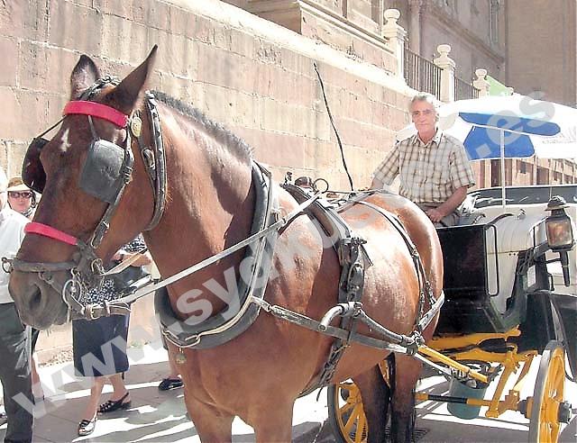 Vibertis stora passion är hästar, han gick i pappas fotspår och blev kusk. Ett yrke som under hans mer än 30 aktiva år förändrats från att vara en transportservice till att bli en turistattraktion.