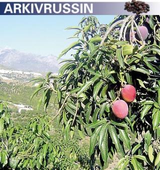 Exotiska fruktträd blir allt vanligare öster om Málaga. Experter tror att skörden kommer att fördubblas på fem år. Torbjörn och Monika Eriksson odlar mango i sitt hem i Frigiliana.